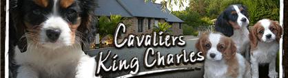 élevage Cavalier King Charles