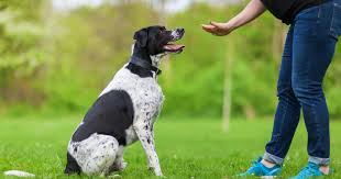 éducation-chien